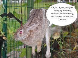 rabbit garden pretty sure this is how my bun is escaping outdoor enclosure