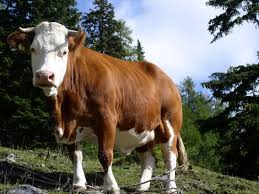 cow animals photo gallery