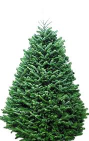 tree fraser fir tree only pots plants