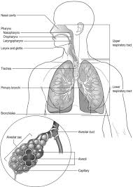 Anatomy And Physiology Of Lungs Anatomy And Physiology Of The Respiratory System Clinical Gate