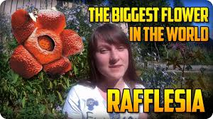 rafflesia the biggest flower in the world youtube