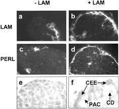 regulation of programmed cell death by basement membranes in