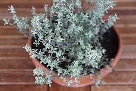 Herb Garden Winter - 8 herbs for your indoor herb garden lady lee u0027s home