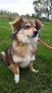 australian shepherd x corgi salvadore u2013 7 year old male shelti cross corgi dog for adoption