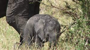 baby elephant sleeps next to mother stock video footage videoblocks