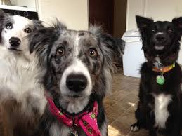 australian shepherd vs border collie me my girlfriend and my roommate each have a border collie it