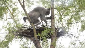 experts condemn china u0027s training of monkeys to destroy bird nests