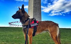 belgian shepherd diesel u s non profit gifts france with trained police dog in honor of