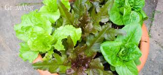 urban gardening growing lettuce u0026 salad leaves in containers