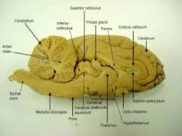 Sheep Heart Anatomy Quiz Sheep Brain