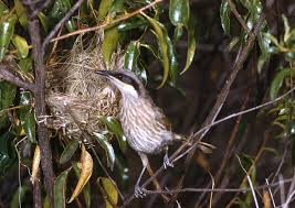 singing honeyeater birds in backyards