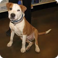 affenpinscher arizona king adopted puppy 14923 tucson az shar pei american pit