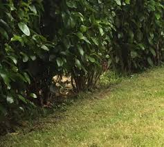 native hedging plants uk identification what is this shrub being used as hedging in the