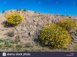 brittlebush spring desert wildflowers blooming in the anza borrego