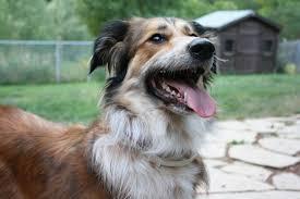 adopt a australian shepherd 5 reasons why you should adopt a senior dog canna pet