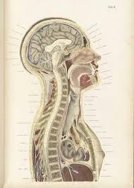 Human Anatomy Atlas Historical Anatomies On The Web Wilhelm Braune Home