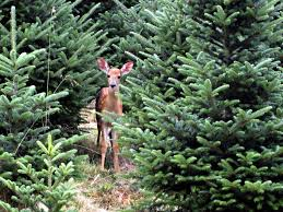 best 25 fraser fir christmas tree ideas on pinterest balsam