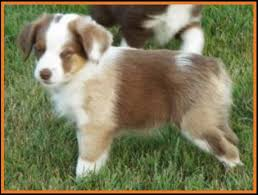 australian shepherd 4 weeks old mini aussie pup for sale 2014 litter 5 callie pup 2 red merle