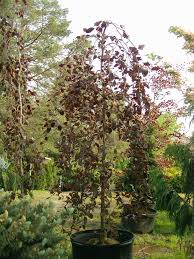 shade trees johnston s evergreen nursery