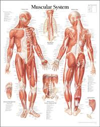 Blank Body Map Template by Anatomy Of Muscle Gallery Learn Human Anatomy Image
