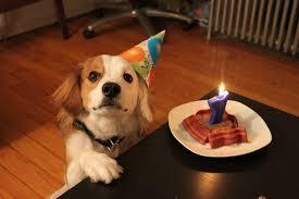 australian shepherd happy birthday max rescue said beagle australian shepherd mix but some of the