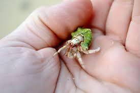 hermit crab from okinawa pics