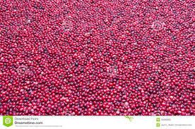 cranberry bog stock photo image 34890990