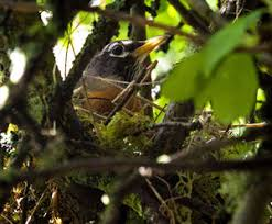 familiar robins still harbor mysteries the seattle times