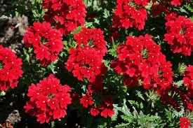 Verbena Flower Homestead Red Verbena Monrovia Homestead Red Verbena