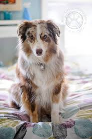 australian shepherd water 125 best aussie love australian shepherd images on pinterest