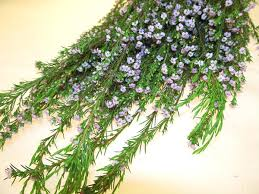 filler flowers diosma pink diosma flowers and fillers flowers by category