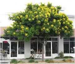 best 25 drought tolerant trees ideas on drought