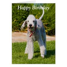 bedlington terrier greeting cards zazzle