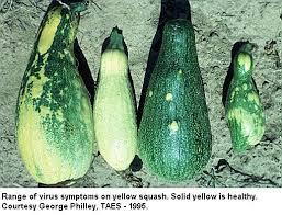 Squash Plant Diseases Pictures - cantaloupe cucumber squash pumpkin and crenshaw texas plant