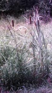 plants native to arkansas herbs wild arkansas