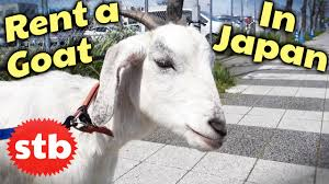 Get Your Goat Rentals by Japan Trip Idea Rent Yourself A Goat Things To Do In Yokohama