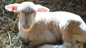 what is a baby lamb called reference com