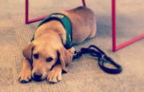 Comfort Dogs Certification Service Dog Certification How To Train And Certify Your K9
