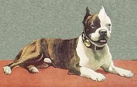 america pit bull terrier club the boston terrier club of america