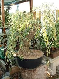bonsai saule pleureur bouture de saule pleureur dans le guinness les chuhin et autres