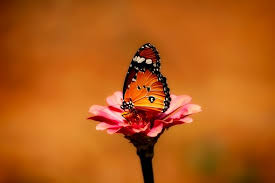 butterfly flower free pictures on pixabay