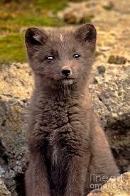 Alaska wildlife images Arctic fox pup alaska wildlife photograph by dave welling jpg