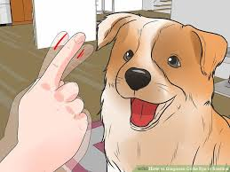 australian shepherd eye diseases 3 ways to diagnose collie eye in shelties wikihow