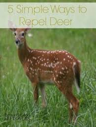 Rabbit Repellent For Gardens by Natural Deer And Rabbit Repellant Simple Life And Home