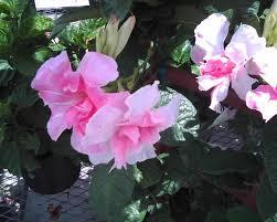 Mandevilla Plant Diseases - looking at plants mandevilla hybrida u0027rita marie otwell green