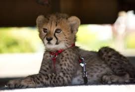 lions for sale outstanding cheetah cubs lion tiger and other exotics for sale