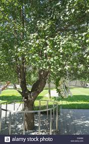 a callery pear tree now known as the survivor tree 9 11 memorial