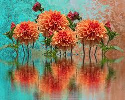 dahlias free pictures on pixabay