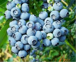 plants native to spain how to grow organic blueberries on the green farms