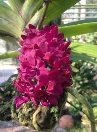 orchid plant rhynchostylis gigantea orchid plant 1 pot price include